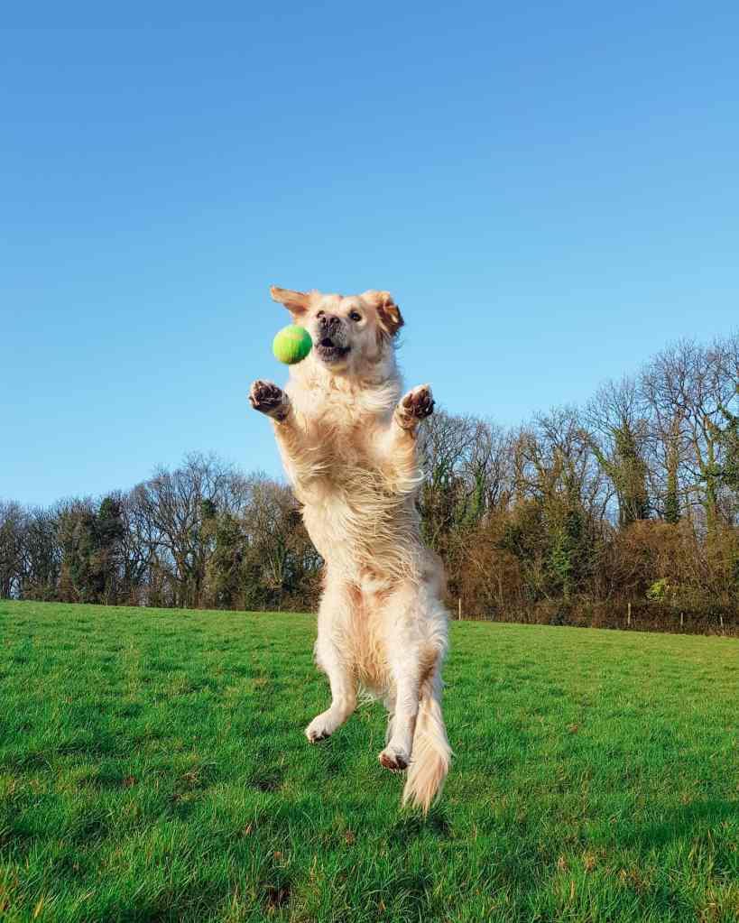 Golden Retriever - The Cardiff Cwtch - Bungle the Golden Catch